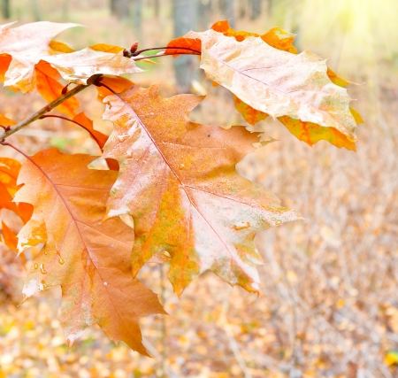 Autumn yellow oak leaves in the forest photo