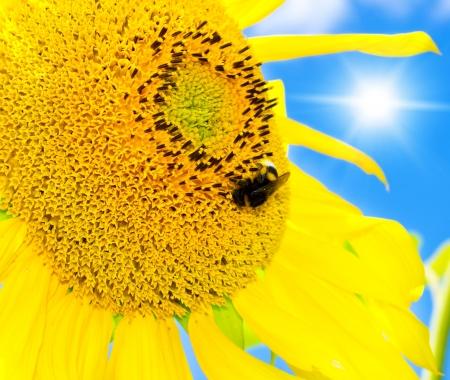big bee on the sunflower  photo
