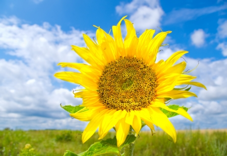 Beautiful sunflower in summer meadow photo