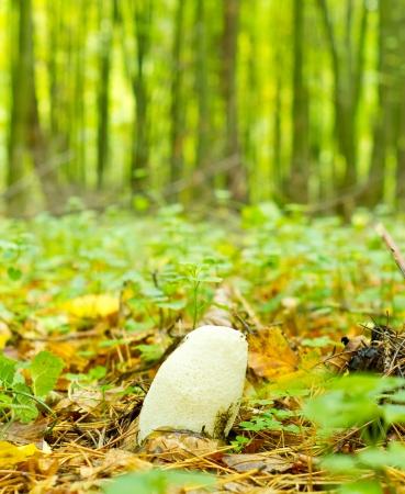 phallus: Young mushroom (Phallus impudicus), known colloquially as the common stinkhorn. Stock Photo