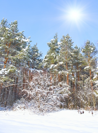 winter landscape. Forest after snowfall photo