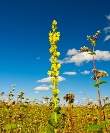 flower of the flowering buckwheat field photo