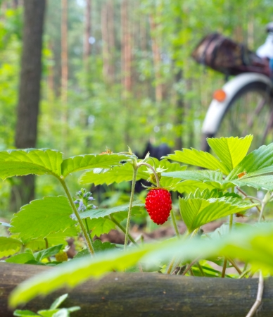 Strawberry berry growing in natural environment photo