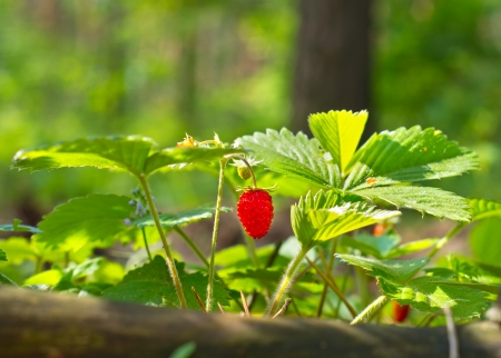 Wild red strawberry photo