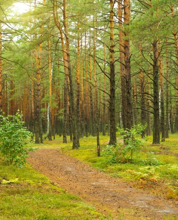 Road in the pine forest  photo