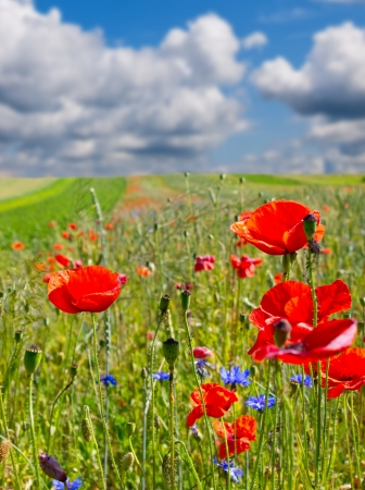 Summer field with blossoming flowers and poppies  photo