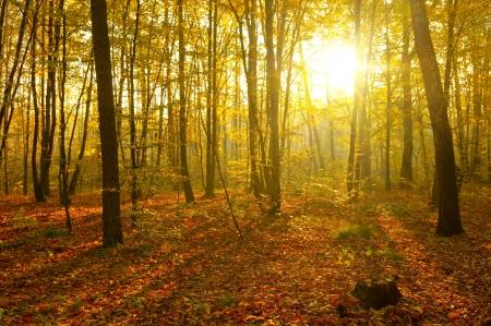 Raggi di sole versare nella foresta di autunno Archivio Fotografico - 21428492