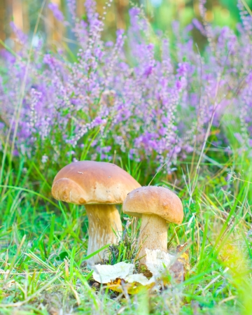 Mushrooms in summer forest  photo