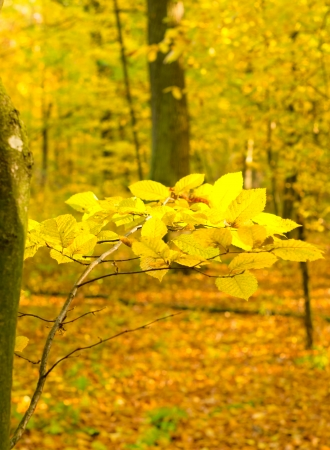 yellow alder: A branch of alder with yellow leaves