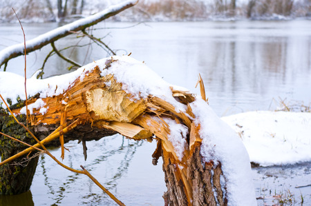 Fallen tree in river from the teeth beavers photo