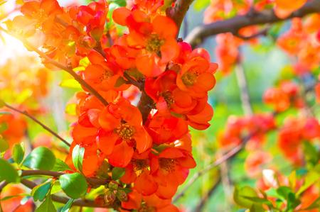 membrillo: Floraci�n de membrillo en el jard�n
