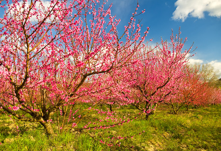 blossoming: Blossoming spring garden