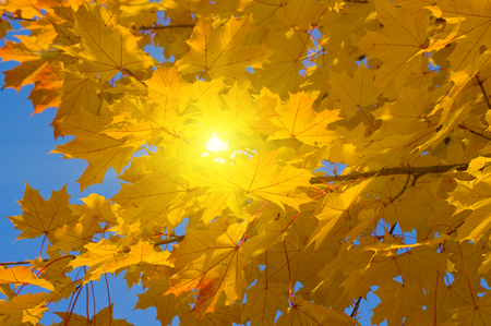 Yellow leaves of maple in autumn sunny day Archivio Fotografico - 96379502
