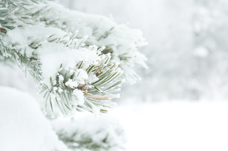 Branch of pine tree covered with snow Archivio Fotografico - 96392729