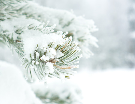 Branch of pine tree covered with snow Archivio Fotografico - 96763899