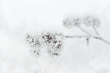 Frozen plant covered with frost Archivio Fotografico - 96763901