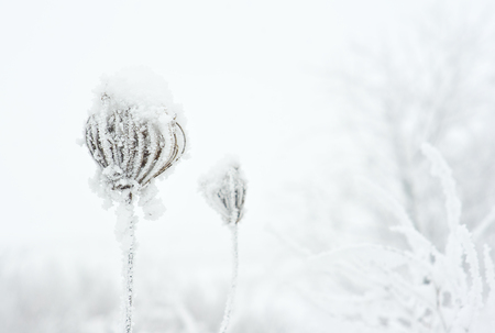 Frozen plant covered with frost Archivio Fotografico - 96770242
