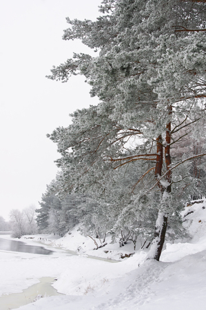 Pine trees in winter forest covered with frost Archivio Fotografico - 96763902