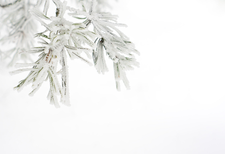 Branch of pine tree covered with snow Archivio Fotografico - 96684181