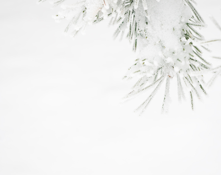 Branch of pine tree covered with snow Archivio Fotografico - 96684183