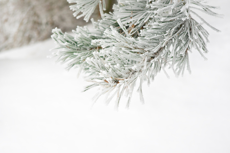 Branch of pine tree covered with frost Archivio Fotografico - 96804948