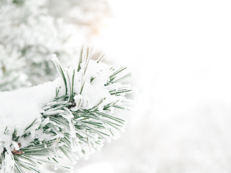 Branch of pine tree covered with snow Archivio Fotografico - 96710168