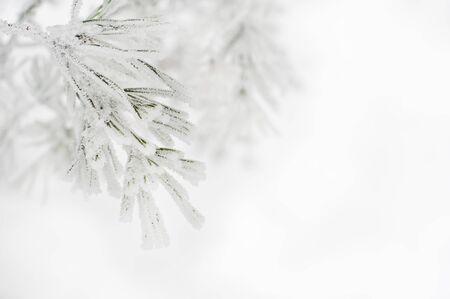 Zweig der Kiefer bedeckt mit Schnee Standard-Bild