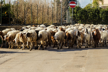Grazing sheep, on the border between the countryside and the city, along a quiet and silent road, on a December afternoon, where the sun still shines in the sky. They walk in groups, between lights an