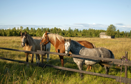 light brown horse: Group Of Three Young Horses On The Pasture
