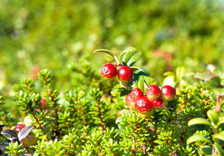 autumn food: Cranberries red berries background nature