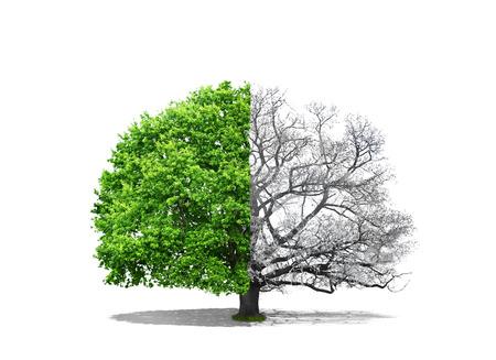 Concetto di duplicità. Una parte di albero è nevoso, e il secondo è decidua su uno sfondo bianco. Concetto di rigenerazione.