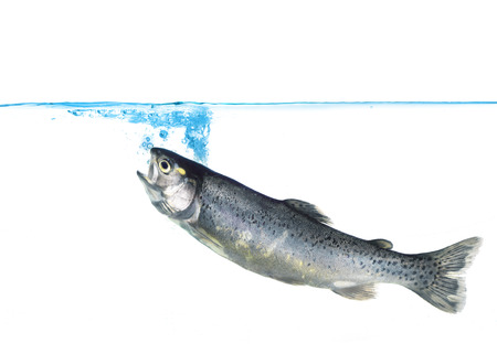 salmo: trout jumping into water on white background