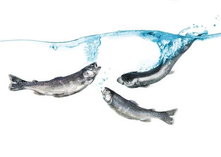 salmo trutta: trout in the water