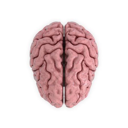 cerebrum: 3D render, illustration. medicall illustration of the human brain isolated on white Stock Photo
