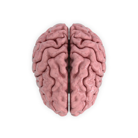 3D render, illustration. medicall illustration of the human brain isolated on white Stock Photo