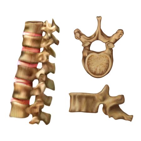 Skeleton_Spine (Structure of the 6th vertebra) Illustration