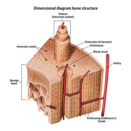 Estructura ósea diagrama tridimensional