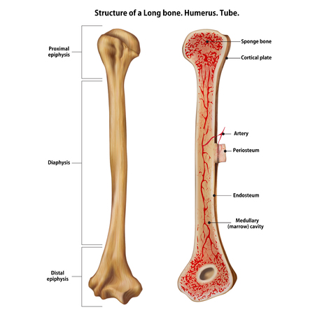 Structure of a Long bone. Humerus. Tube. Vector Illustration