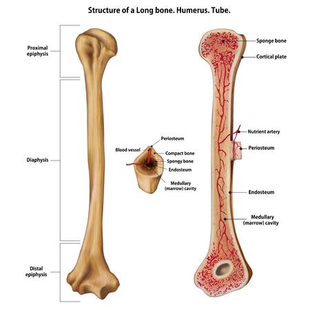 Schicht eines langen Knochens. Humerus. Tube.