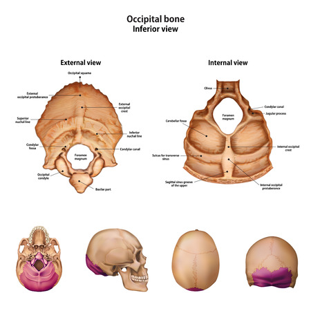 Occipital bone. With the name and description of all sites.