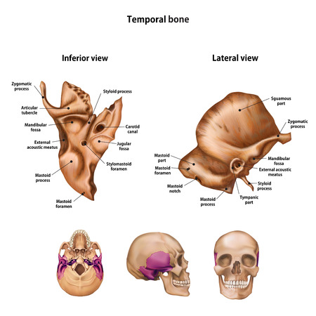 Temporal bone. With the name and description of all sites.