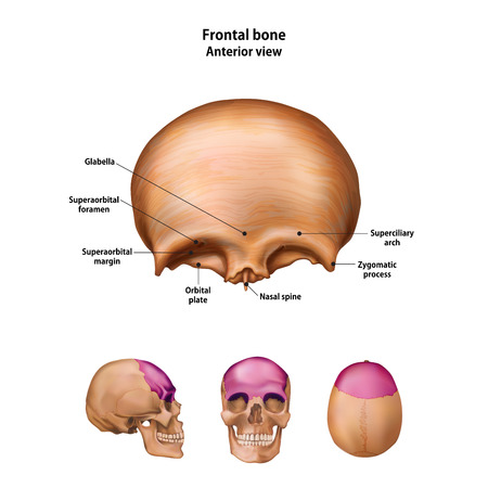Frontal bone. With the name and description of all sites.