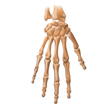 Bones of the human hand. Anatomy. Vector illustration isolated on a white background. Illustration