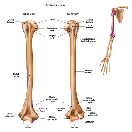 Structure of the humerus bone with the name and description of all sites. Back and front view. Human anatomy.