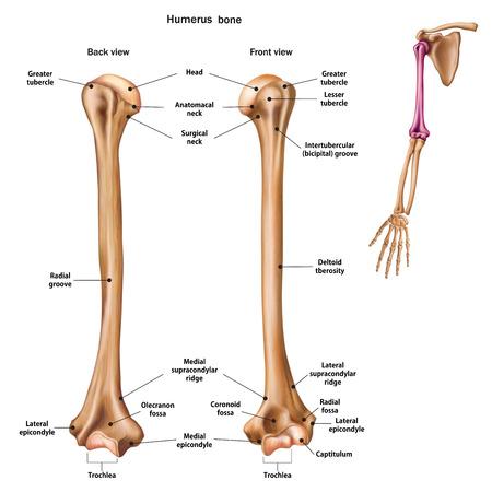 Struktur des Humerusknochens mit Namen und Beschreibung aller Fundstellen. Rück- und Vorderansicht. Menschliche Anatomie. Vektorgrafik