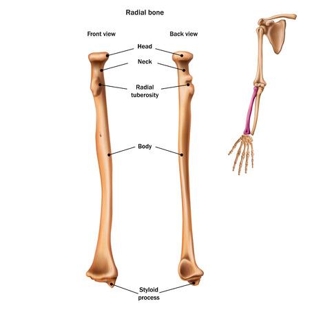 La estructura del hueso radial con el nombre y descripción de todos los sitios. Vista posterior y frontal. Anatomía humana.