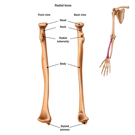 La struttura dell'osso radiale con il nome e la descrizione di tutti i siti. Vista posteriore e frontale. Anatomia umana.