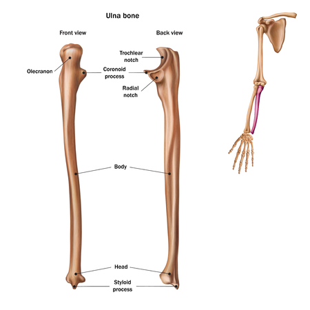The structure of the ulna bone with the name and description of all sites. Back and front view. Human anatomy. Ilustração