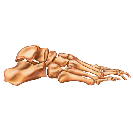 Bones of the human foot. Lateral view. Human anatomy. Vector illustration isolated on a white background.