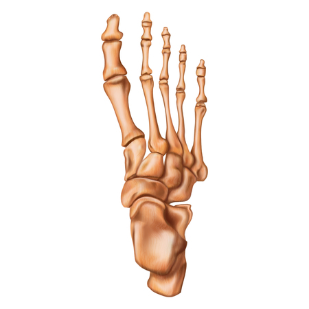 Bones of the human foot. Superior view. Human anatomy. Vector illustration isolated on a white background.